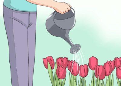 когда сажать тюльпаны осенью в ленинградской