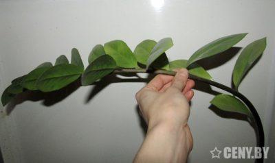 долларовое дерево как размножить