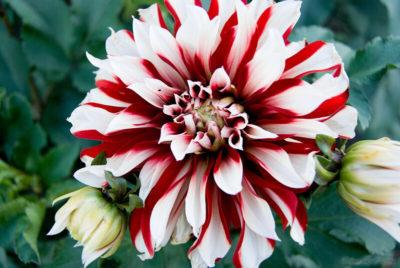 красивоцветущие садовые цветы