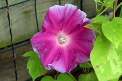 ипомея пурпурная райские звезды посадка и уход