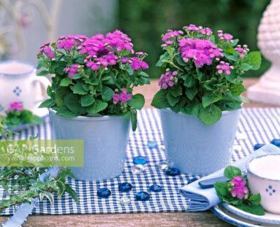 агератум выращивание из семян когда сажать