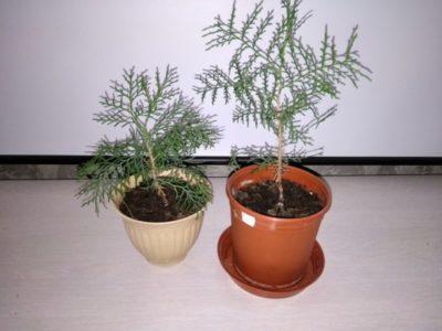 кохия выращивание из семян когда сажать