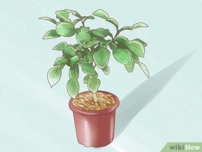 комнатные растения ардизия городчатая