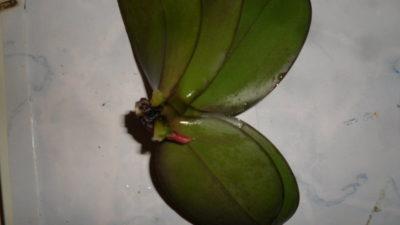 гниет орхидея что делать