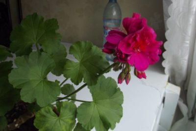 пеларгония ампельная летний дождь