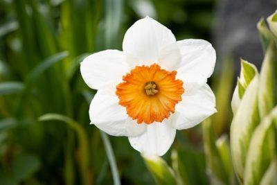 цветок нарцисс описание