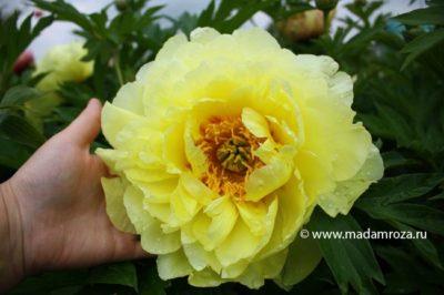 гибрид пиона и розы
