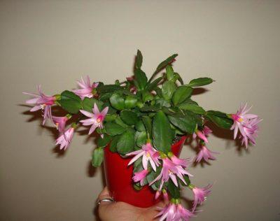 хатиора комнатный цветок