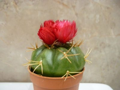 кактус с красными иголками