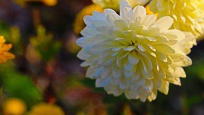хризантемы когда цветут