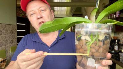 вырастить орхидею из корня