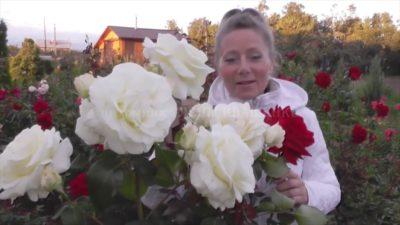 плетистые розы выращивание и уход