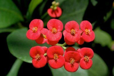 редкие домашние цветы