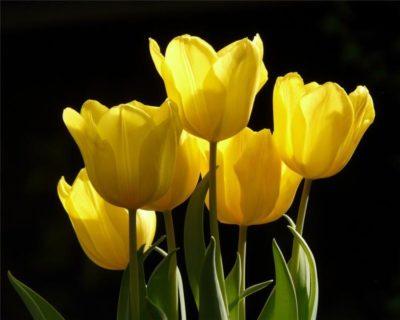 prey желтый тюльпан