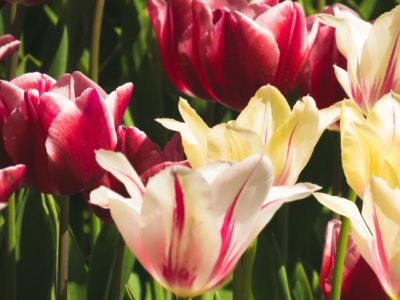 тюльпаны низкорослые сорта