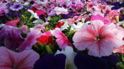 петуния крупноцветковая махровая