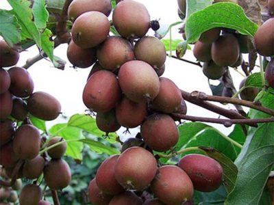 актинидия в сибири выращивание