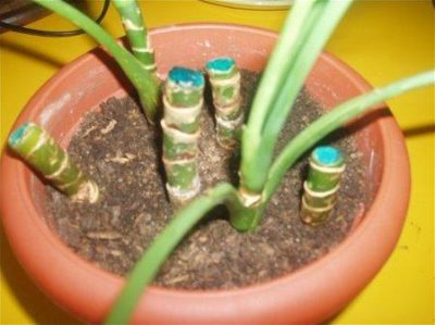 аглаонема размножение черенками