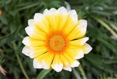 многолетние уличные цветы