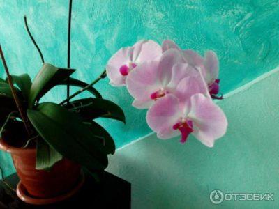 как поливать орхидеи янтарной кислотой