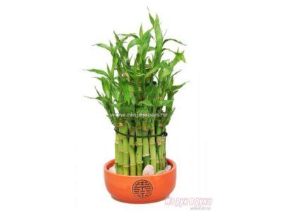 как сажать бамбук в горшок