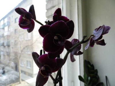 как долго цветет орхидея в домашних условиях