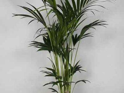 комнатное растение похожее на пальму