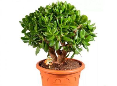 японские комнатные растения
