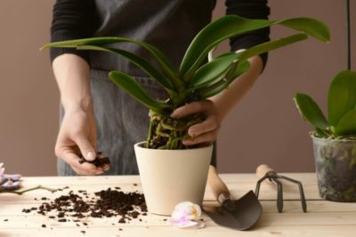 как цветет орхидея в домашних условиях