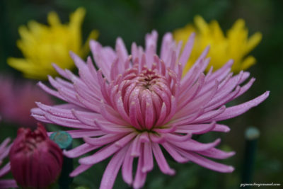 хризантемы садовые многолетние