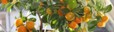 комнатное мандариновое дерево