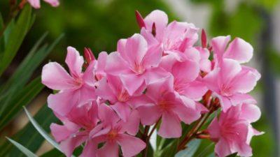 олеандр цветок комнатный