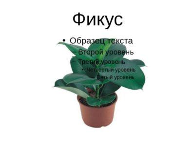 паспорт комнатного растения фикус