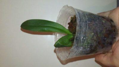 как посадить детку орхидеи