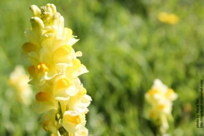 цветы эремурус посадка и уход