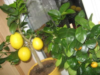 как ухаживать за лимоном