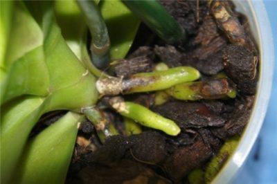 у орхидеи сгнили листья что делать