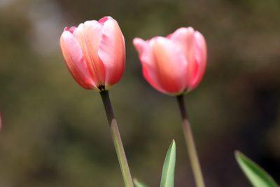 тюльпаны когда цветут