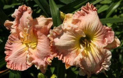 лилейники цветущие все лето