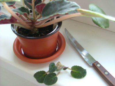 как выращивать фиалки в домашних условиях
