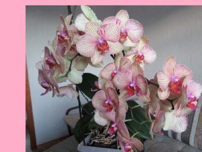 как часто цветет орхидея в домашних условиях