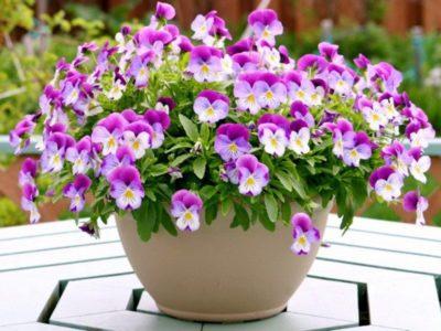 виола цветы выращивание