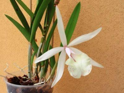 орхидея каттлея уход в домашних условиях