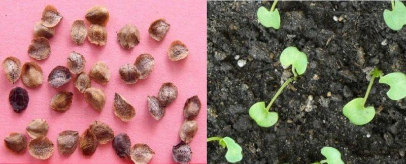 посадить бархатцы семенами в открытый грунт весной
