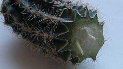 как вырастить кактус из отростка