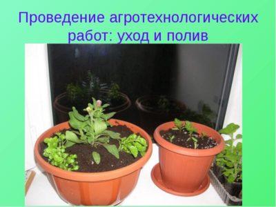 молочай многоцветковый выращивание и уход
