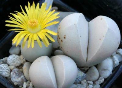 живые камни семена