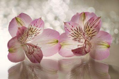 цветок похожий на лилию