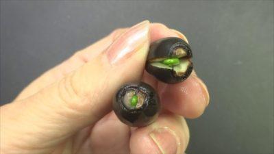 как вырастить лотос в домашних условиях из семян
