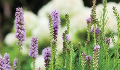 цветы вероника посадка и уход